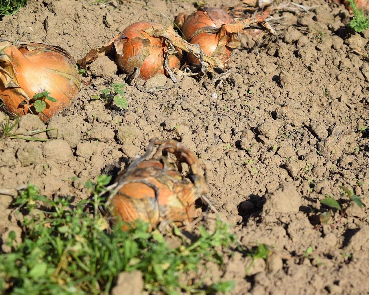 onionharvested